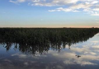 Flooded corn crop September 2013.