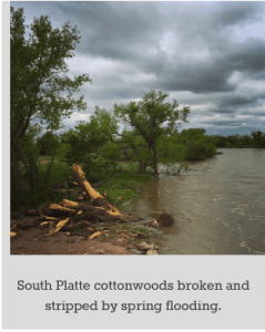 southplatteconttonwoodsbrokenandstrippedbyspringflooding062015bobberwyn