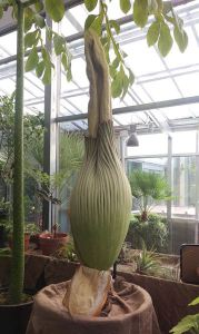 The large and exceptionally smelly Amorphophallus titanum or corpse flower is almost ready to bloom. (Courtesy: Denver Botanic Gardens)
