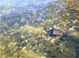 1985 fish kill in Lake Erie via Environment Colorado