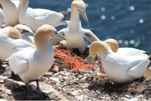 Northern gannet (Morus bassanus) are using old fishing nets as nesting material in their nesting colony at the island Helgoland (North Sea / Germany), Credit: Image courtesy of Alfred Wegener Institute, Helmholtz Centre for Polar and Marine Research