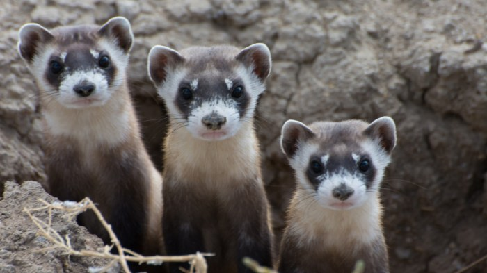 Black-footed ferrets (Mustela nigripes). Photo © Kimberly Fraser/USFWS
