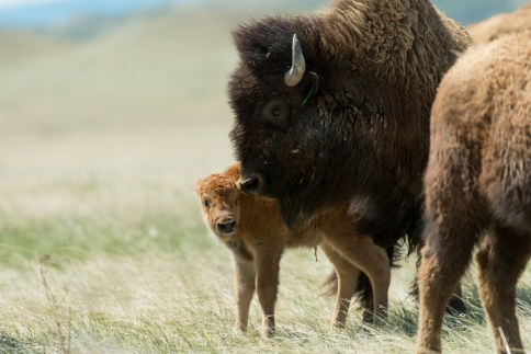 The Laramie Foothill Bison Conservation Herd at Soapstone Prarie Open Space. May 10, 2016