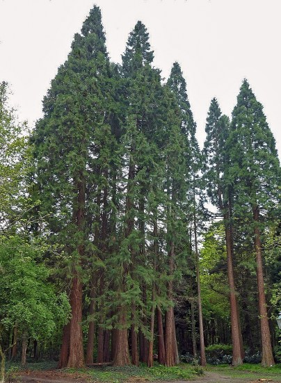 "Like many Westerners, giant sequoias came recently from farther east. Of course, ""recent"" is a relative term. ""You're talking millions of years (ago),"" William Libby said. The retired University of California, Berkeley, plant geneticist has been studying the West Coast's towering trees for more than half a century. Needing cooler, wetter climates, the tree species arrived at their current locations some 4,500 years ago — about two generations. ""They left behind all kinds of Eastern species that did not make it with them, and encountered all kinds of new things in their environment,"" Libby said. Today, sequoias grow on the western slopes of California's Sierra Nevada."