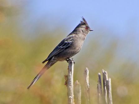 Phainopepla. Photo: Elaine Padovani/Great Backyard Bird Count via Audubon Rockies