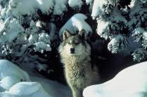Gray wolves are currently protected under the Endangered Species Act, but the Trump administration has petitioned to delist them. That decision, expected this spring, will impact the management and possible reintroduction of wolves in Colorado. Photo credit: Tracy Brooks, U.S. Fish and Wildlife Service via Aspen Journalism