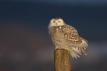 Snowy Owl. Photo: Melissa Groo via Audubon Society