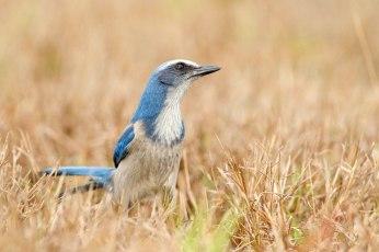 Florida Scrub-Jay. Photo: Melissa Groo via Audubon Society