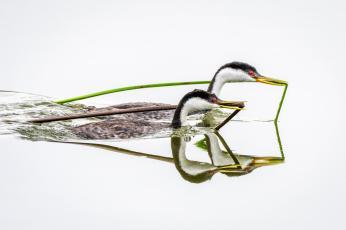 Western Grebes. Photo: William Halladay/Audubon Photography Awards via The National Audubon Society