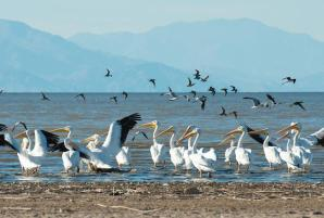 The Salton Sea is a major nesting, wintering and stopover site for about 400 bird species (Source: California Department of Water Resources)