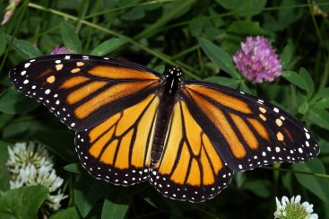 Photograph of a Female Monarch Butterfly. By Kenneth Dwain Harrelson, CC BY-SA 3.0, https://commons.wikimedia.org/w/index.php?curid=14917505