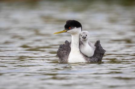 Western Grebe with chick. Photo: Krisztina Scheeff/Audubon Photography Awards