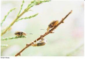 Tamarisk leaf beetles at work