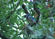 A Blue Jay watches the feeders