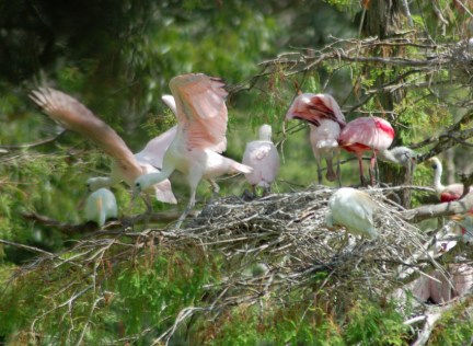 Roseate Spoonbill nestlings scattering