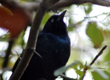 Perhaps a Rusty Blackbird?