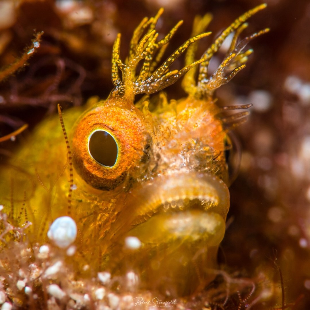 scuba diving Cozumel with this blenny.