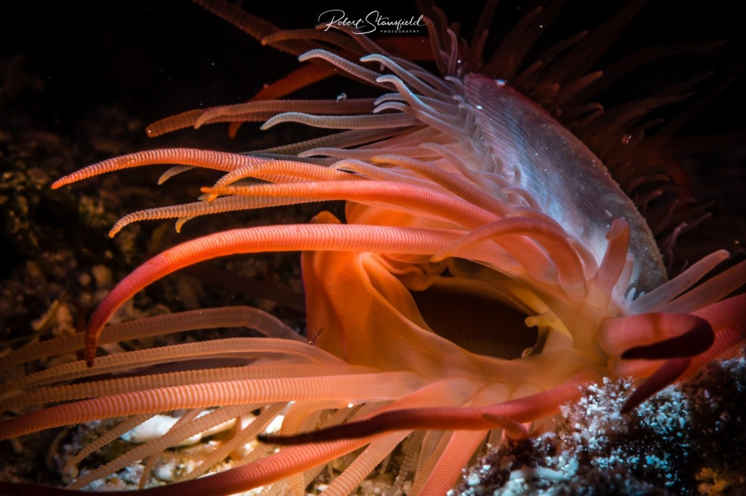 Flame Scallop in whle diving Cozumel