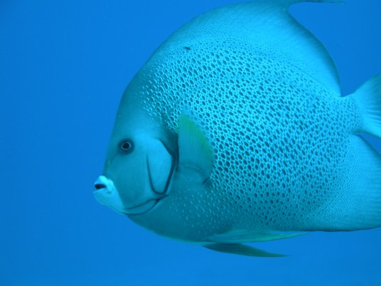 Gray Angelfish - Adult