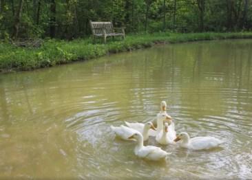 Cozy Hideaway Ducks splashing in pond