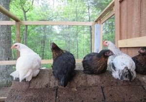 Cozy Hideaway Hens