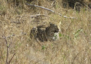 knp_leopard_2015.jpg