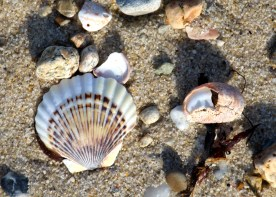 Shells, Martha's Vineyard, MA.