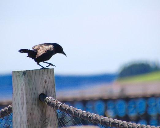 Jaunty bird, St. Andrew, NB
