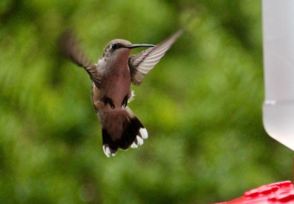 Hummingbird at feeder, Gorham, NH.