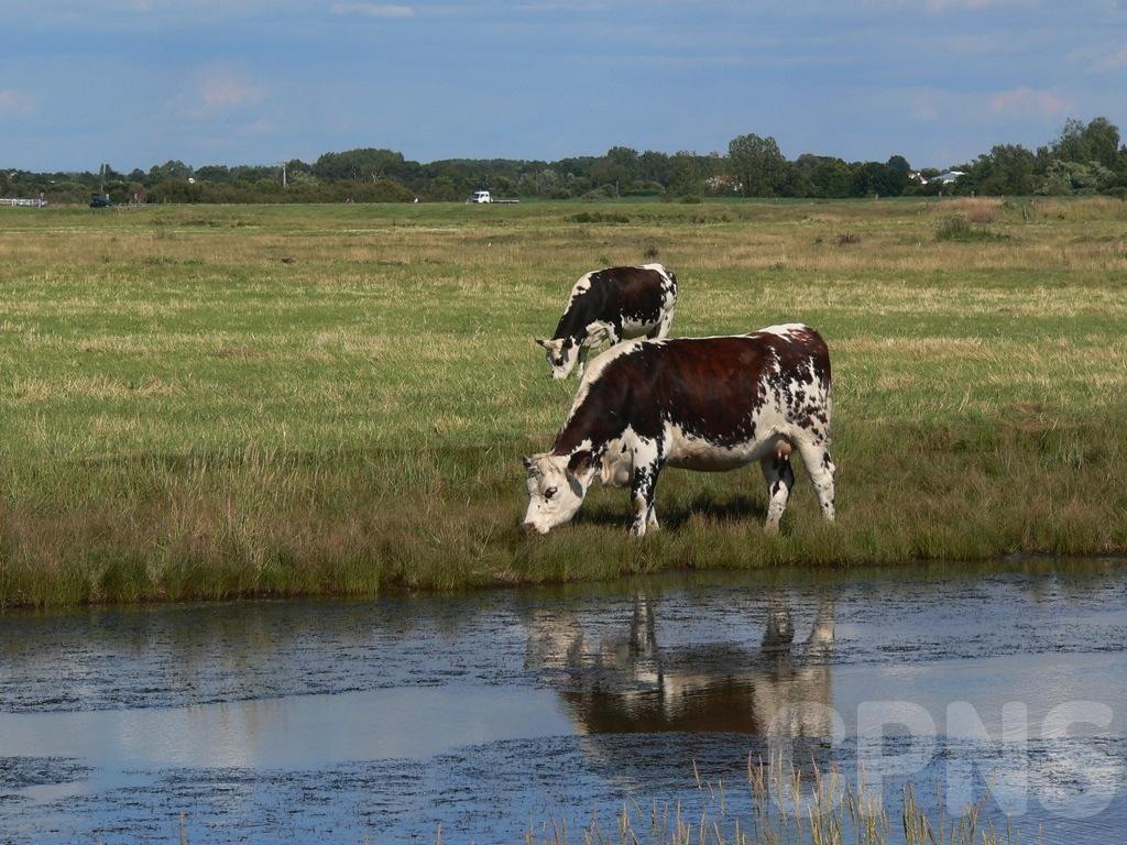 Vaches dans le marais