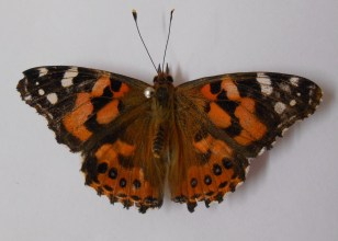 australian-painted-lady-top