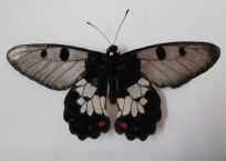 clearwing-swallowtail-top
