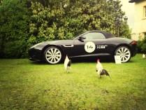 a darci il buongiorno nel parcheggio dell'Hotel troviamo dei galletti ipnotizzati dalla nostra F-Type, piace anche agli animali