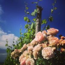 in testa ad ogni filare ci sono le rose per segnalare in anticipo eventuali malattie parassitarie