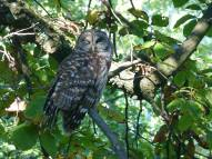 Barred Owl outside our window