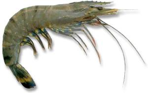 FAQ Are prawns safe to feed to hermit crabs?