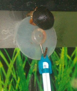 Ebbie the compressus climbed the thermometer