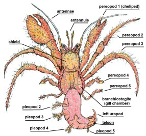Anatomy Hermit Crab by Storm Martin 2012