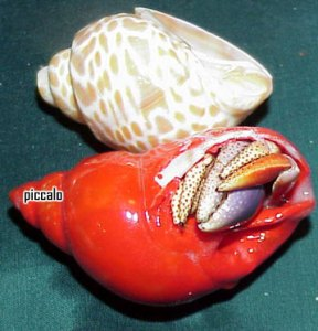 Hermit crab stuck in painted shell