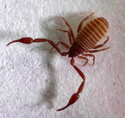Psuedoscorpion