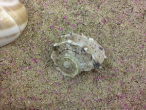 Despite these hermit crabs being forced into these shells, they are NOT acceptable. These are not only covered in clear varnish but the shell spiral is wrong for a hermit crab. They will not voluntarily wear these delphinias.