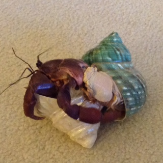 a large hermit crab changes shells