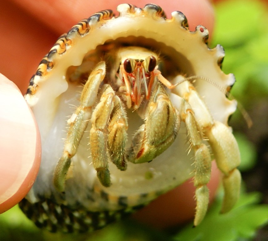 Coenobita mandibles and maxipelllids Credit - Chen Yu Jung