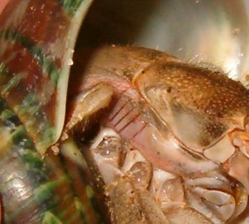 Coenobita gills