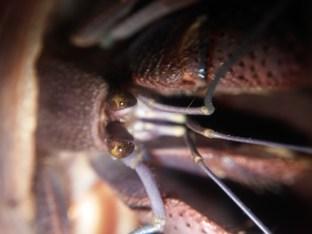 Coenobita eyes - Photo Credit: Heather Heaton