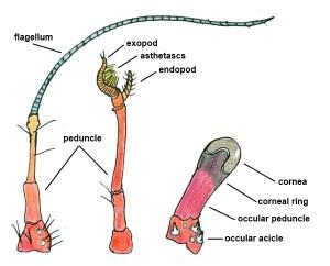 Hermit Crab Antenna Eyes Diagram by Storm Martin 2012