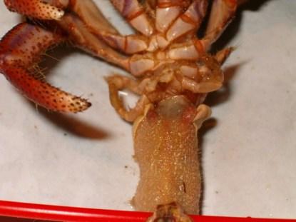Coenobita abdomen and abdominal appendages