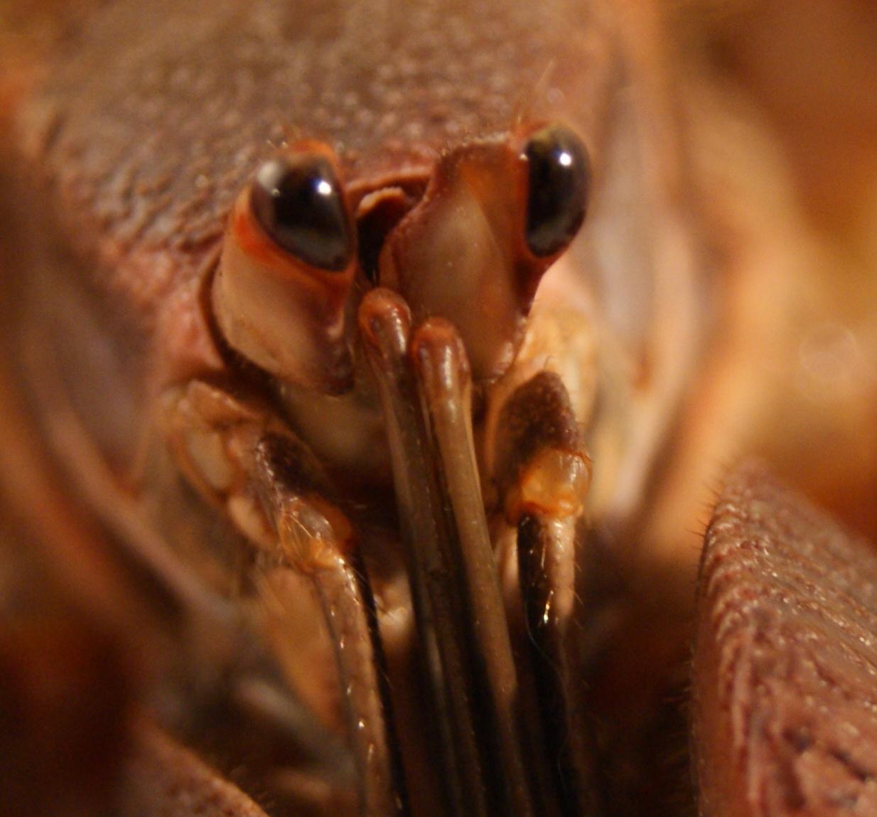 Coenobita eyes