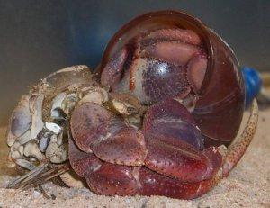 Coenobita clypeatus - Purple Pincer Hermit Crab Surface Molt