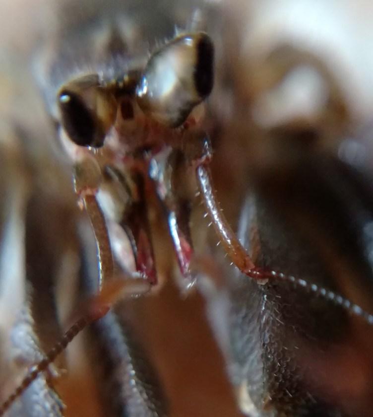 C. cavipes eyes
